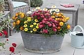Old zinc tub planted with Bracteantha 'Red Purple' 'Sunbrella Orange'