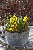 Gray pot with Eranthis (winterling), Galanthus nivalis