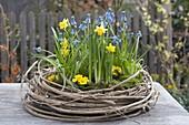 Narcissus 'Tete A Tete', Muscari armeniacum 'Blue Pearl'