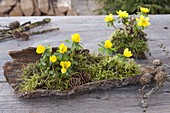 Eranthis (winter aconite) with moss and cones on bark