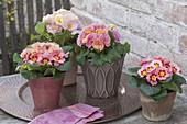 Primula acaulis (primrose) in pots on copper tray