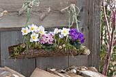Crocus chrysanthus 'Blue Pearl' (Crocus) and Primula (Primrose)