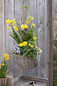 Basket with Narcissus 'Tete a Tete', Ranunculus
