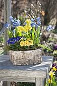 Birch box with Primula acaulis, Elatior (primrose) and Scilla