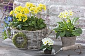 Basket and pot with primula elatior, moss-wreath