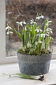 Galanthus nivalis (snowdrop) in gray pot