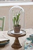 Galanthus nivalis (snowdrop) under glass bell