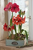 Flowering amaryllis with clay pots in old drawer