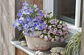 Campanula 'Blue Mary Mee', 'Sweet Mee' (Bluebell) as a duo