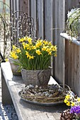 Narcissus 'Tete A Tete' (Daffodil) in basket on bench