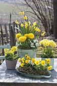 Spring in yellow, viola cornuta (horn violet), primula elatior