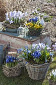 Early spring on garden wall, Crocus chrysanthus 'Blue Pearl'