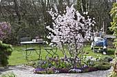 Prunus sargentii 'Accolade' (Early ornamental cherry)