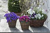 Spring in baskets: Aubrieta, Primula acaulis