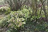 Helleborus orientalis as underplant of shrubs