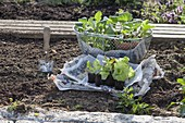 Young cabbage and salad plants for planting