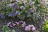 Pulmonaria officinalis (spotted lungwort)