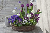Wicker wreath planted with Viola cornuta (horn violet), Tulipa