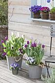 Tulipa 'Purple Prince', 'Holland Beauty', 'Purissima', 'Akela'