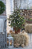 Picea abies as a living Christmas tree on straw bales