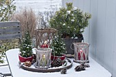 Pot arrangement on snow covered patio table, Pinus (pine)