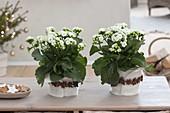 weiße Zimmerpflanzen