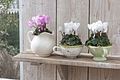 Cyclamen (cyclamen) in cups and pitcher on wallboard