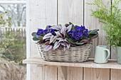 Saintpaulia Ionantha (African Violet) and Begonia Rex Hybrid