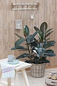 Ficus elastica 'Decora' (rubber tree) in the basket planter