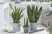 Sansevieria trifasciata 'Laurentii' left, s. trifasciata 'Robusta' on the right