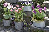 Tulipa 'Purple Prince' purple, 'Foxtrot' pink filled, 'Holland Beauty'