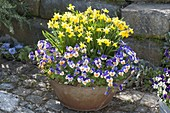 Rusty Tin Tray with Narcissus 'Tete A Tete' (Daffodil)