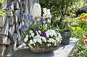 Basket with Viola cornuta Callisto 'White', Primula