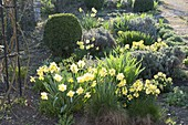 Spring bed with Narcissus (Daffodil), Erysimum 'Winter Gold'