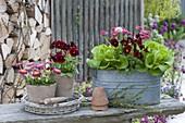 Zinc jardiniere and clay pots with salad (lactuca), Viola cornuta