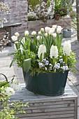 Green Tin Tray with Hyacinthus 'White Pearl' (Hyacinth)