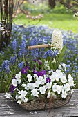 Basket with Viola cornuta Callisto 'White' (Horned Violet), Primula