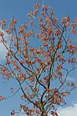 Aesculus glabra, red shoot in spring
