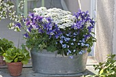 Tin tray with Aquilegia 'Navy White', Iberis 'Candy Ice'