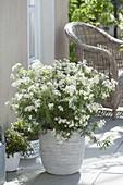 Choisya ternata 'White Dazzler' (Orange flower)