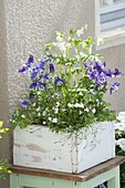 White wooden box with Aquilegia 'Navy White', Dicentra 'Alba'