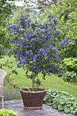 Solanum rantonnetii (gentian tree) in wicker basket