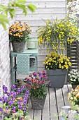 Small fragrance balcony, Cytisus scoparius 'Golden Tears'