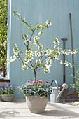 Sour cherry 'Morellenfeuer' (Prunus cerasus) underplanted