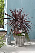 Cordyline australis 'Red Star' (club lily) in basket with Bellis