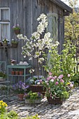 Spring at the tool shed, Malus 'Evereste'