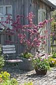 Malus 'Liset' (ornamental apple) on the tool shed