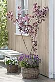 Prunus 'Royal Burgundy' (Red-leaved Cherry) planted under