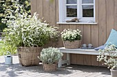 Terrace planted white and silver gray, Spiraea arguta