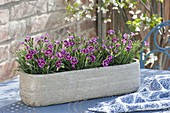 Dianthus caryophyllus 'Pink Kisses' in ceramic jardiniere